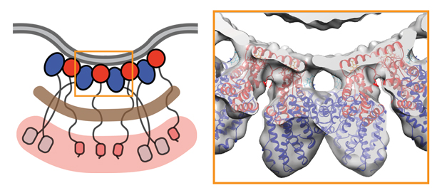Structure of the clathrin and clathrin-adaptors when a vesicle is formed. IMAGE: Skruzny, Desfosses, Prinz et al. Developmental Cell 2015