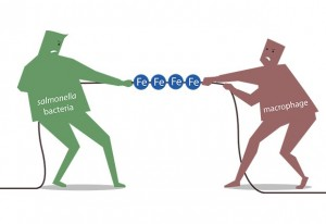 Tug of war: during an infection host cells and bacteria fight for iron. IMAGE: Petra Riedinger/EMBL