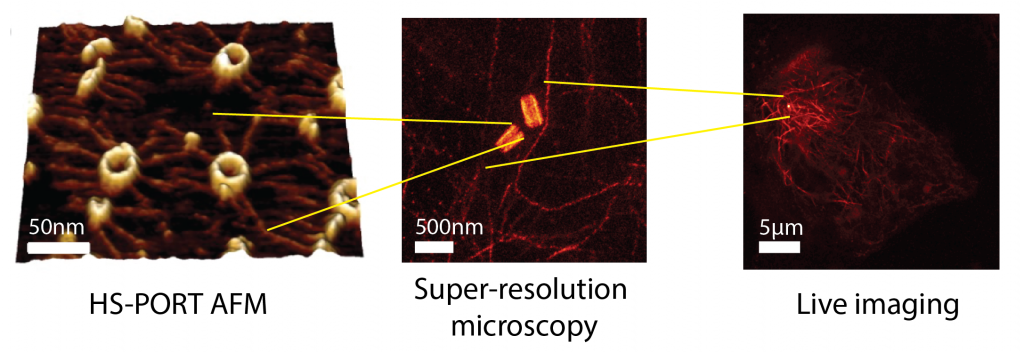 HS-PORT AFM can uncover time resolved nanoscale centriolar protein polymerisation dynamics at the 100 nm scale (left, from Nievergelt et al., 2018). Super-resolution expansion microscopy of centrioles and microtubule networks (middle) provides submicron ultrastructural information. Live microscopy (right) can complement these techniques to quantify mesoscale cellular organisation and whole-cell behaviour.
