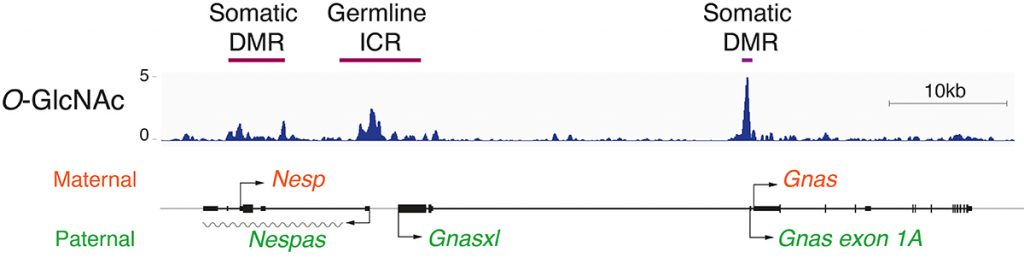 Figure 1: Genome browser view of ChIP-seq data showing that chromatin proteins modified by O-GlcNAc are bound to the imprinted control regions (ICR) and to the differentially methylated regions (DMR) controlling gene expression of the Gnas imprinted cluster.