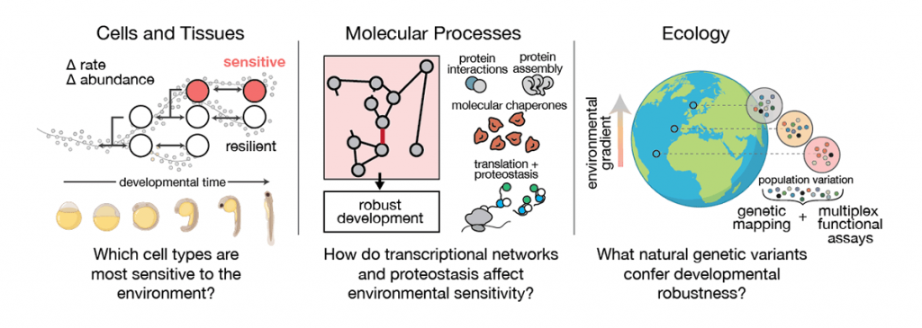 Figure 1: Integrating the effects of the environment at multiple scales to identify mechanisms of developmental robustness.