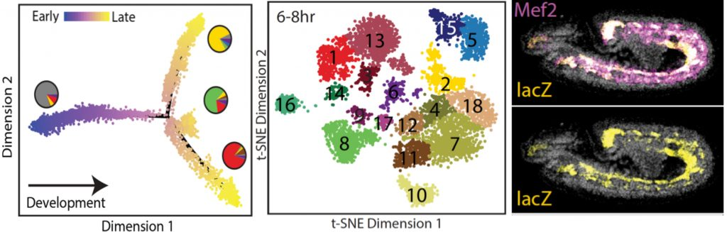 Figure 2: Using single-cell measurements of open chromatin (sciATAC-seq), we could order cells along developmental trajectories (left), predict single cell identities (middle), and tissue specific enhancers (right) (Cusanovich et al., Nature 2018). Collaboration with Jay Shendure's lab.