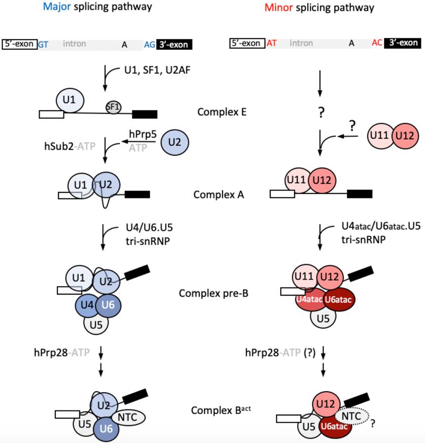 Figure 2: Schematics of the U2- and U12-dependent splicing pathways in mammalian cells.