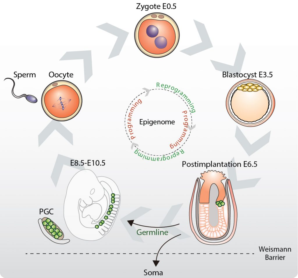 Figure 1: The germline cycle links successive generations by transmitting genetic and epigenetic information.