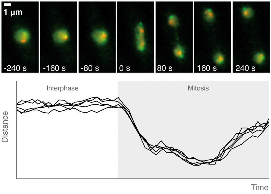 Figure 2: Examples from our live cell microscopy assay to track chromosome condensation dynamics over the course of a cell cycle.