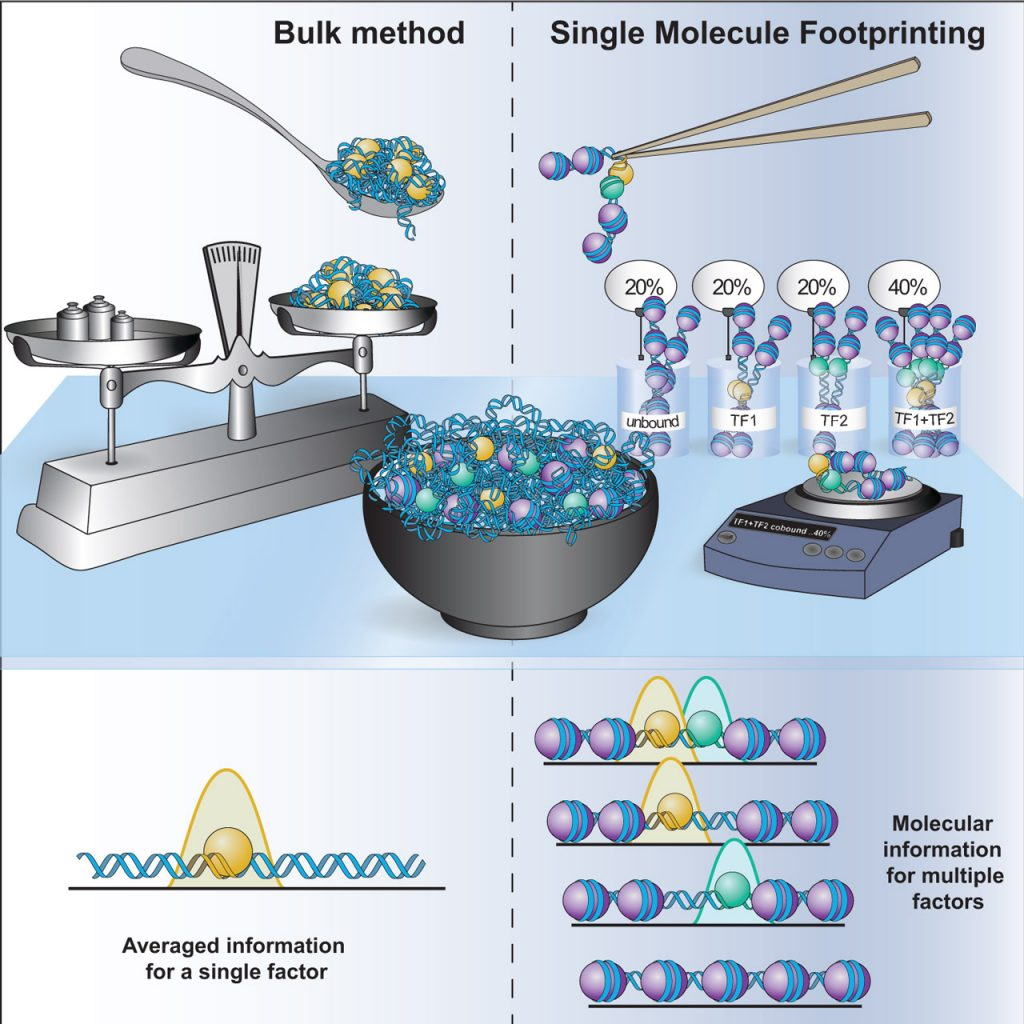 Figure 2: Single-molecule footprinting enables us to measure co-occupancy of transcription factors in vivo to understand cooperativity mechanisms.