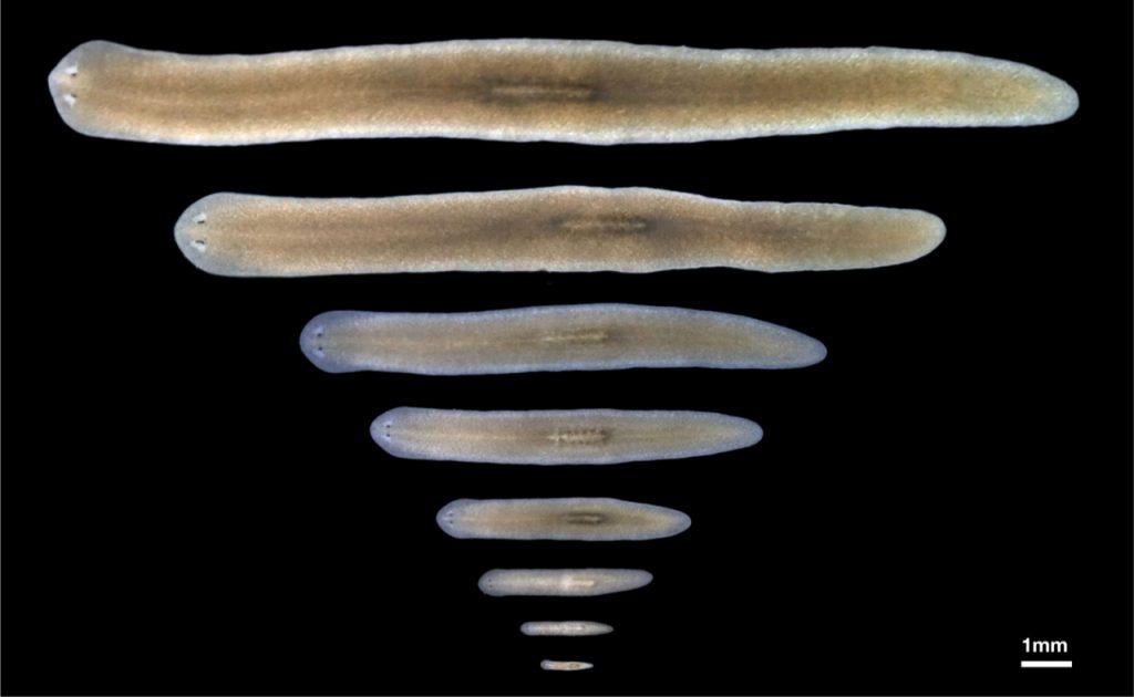 Vu research group, figure 1: Body size plasticity of adult Schmidtea mediterranea.