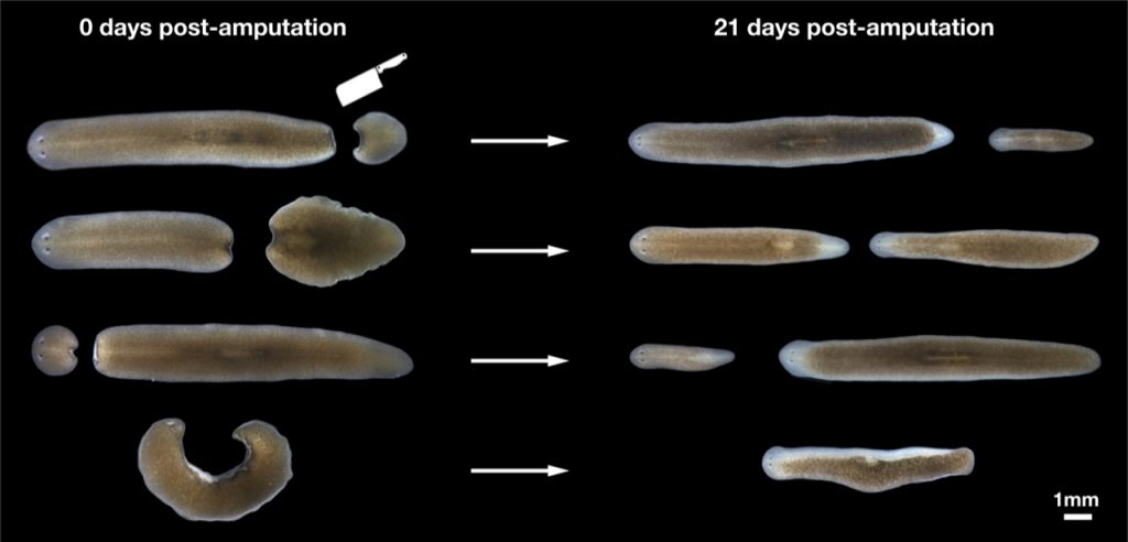 Vu group EMBL Heidelberg, Figure 2: Different-sized planarians can be generated from different-sized fragments through whole-body regeneration.