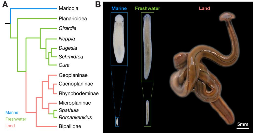 Figure 3: Biodiversity of planarian body size. A. Simplified planarian phylogeny