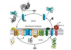 Figure 2: Scheme of the peroxisomal translocation cycle (kindly provided by R. Erdmann). Structures of protein components and complexes of the peroxisomal translocation cycle, which have been determined by our group, are indicated by ribbons.