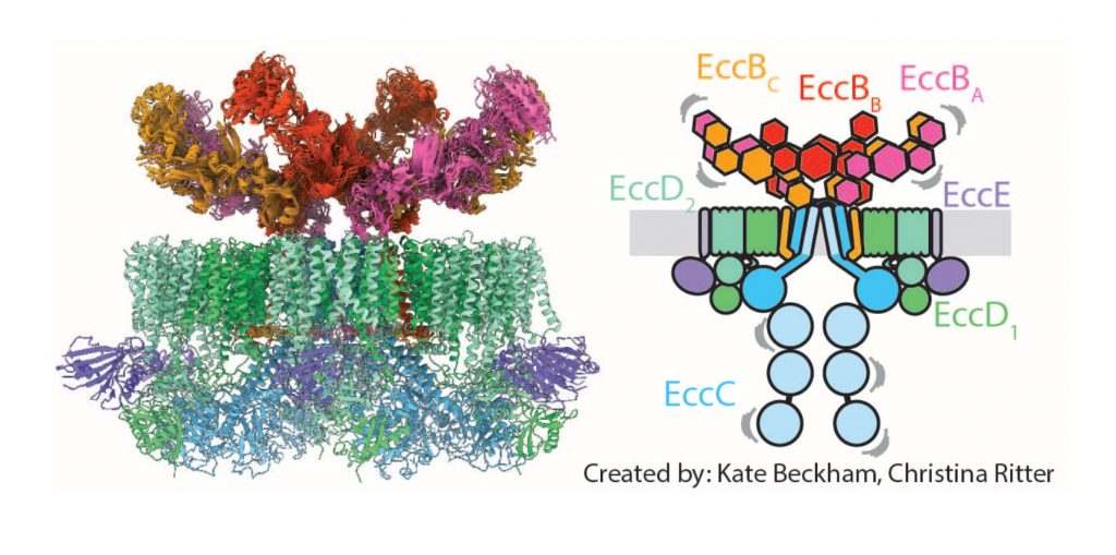 Figure 1: Scheme and high-resolution structure of the mycobacterial ESX-5 translocon. For further details see Beckham et al., Nature Microbiology 2017.