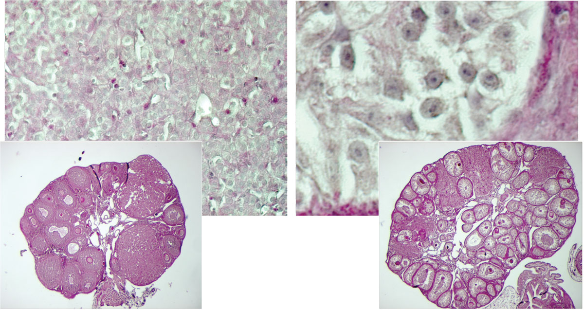 These microscopy images show the cellular reprogramming uncovered by EMBL scientists. On the left is an ovary of a normal adult female mouse, with a close-up (top left) showing the typical female granulosa cells. When the Foxl2 gene was silenced in these cells (right, top right: close-up), they took on the characteristics of Sertoli cells, the cells normally found in testes of male mice. Image credit: Treier / EMBL