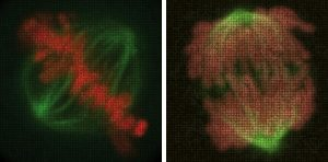 Each of these large images of dividing cells is composed of several microscopy images of human cells in which different individual genes were silenced. The smaller images are placed according to genes' effects: images for genes that affect chromosomes make up the chromosomes (red/pink), while the mitotic spindle (green) is composed of images for genes that affect it. IMAGE: Thomas Walter & Mayumi Isokane / EMBL