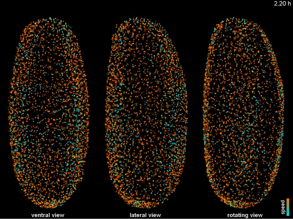 The Fly Digital Embryo seen from 2 different angles (left and centre), and rotating through all views (right). Click on the image to play. IMAGE: Philipp Keller