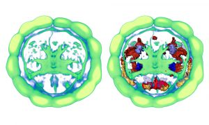 A virtual Platynereis brain (left), created by averaging microscopy images of the brains of 36 different individuals, onto which scientists mapped gene activity (right). Perspective shows the brain as viewed from inside a Platynereis larvae, at 48 hours' old. Image credits: EMBL/R. Tomer