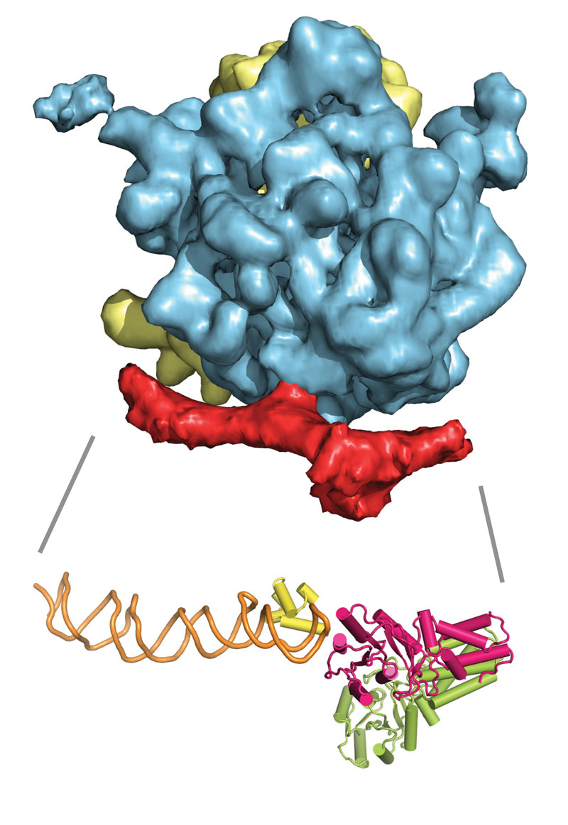This cryo-electron microscopy image shows the 3D structure of the ribosome (yellow/blue) bound to the signal recognition particle (SRP) and the SRP receptor (both in red). Below it is an atomic model of SRP (green-yellow/orange) and its receptor (pink). Image credits: EMBL/Schaffitzel.