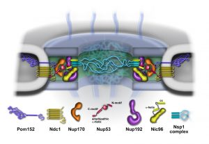 Model of the inner ring (green) of the nuclear pore, showing its components.
