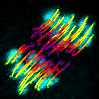 Mapping movement. The coloured lines chart the movement (purple to yellow) of kinetochores (green dots) as microtubules hook onto them to separate the chromosomes (cyan).