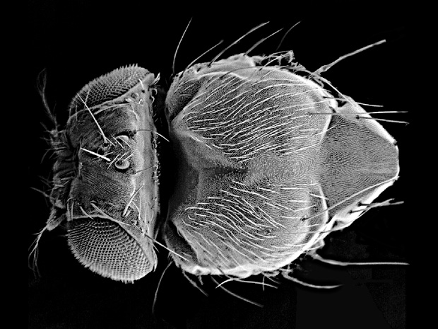 electron microscopy image of Drosophila