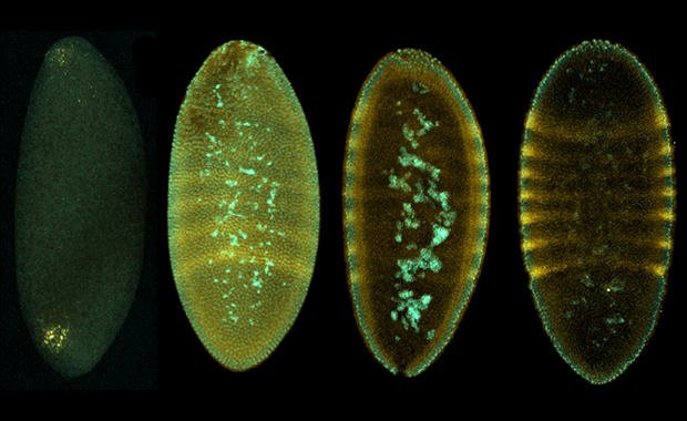 At 18ºC, embryos without Klar fail to develop normally. Far right: normal embryo (with Klar) at 18ºC. IMAGE: EMBL/I. GASPAR.