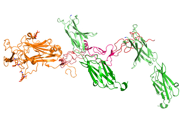 Netrin-1 (orange/pink) can bind to two copies of DCC (green). CREDIT: EMBL/Meijers.