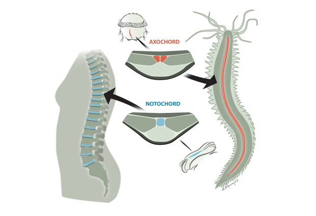 The worm's axochord and human notochord