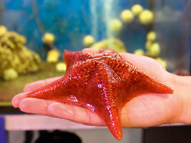 Five-armed starfish