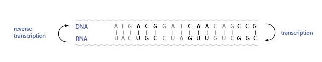 Transcription and reverse-transcription. IMAGE: M.BECK-OIPA