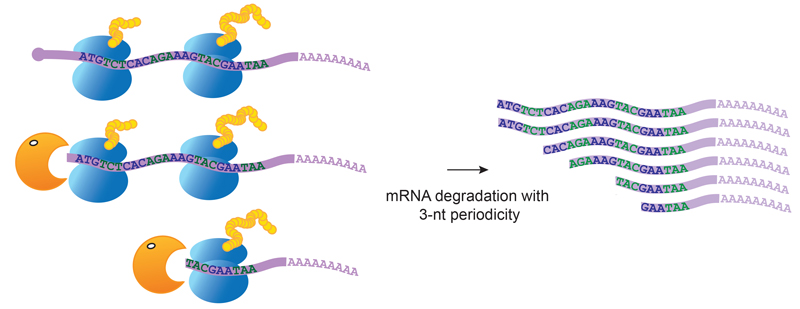 The enzyme that degrades messenger RNA follows the ribosomes and stops every three nucleotides. IMAGE: V.Pelechano/EMBL