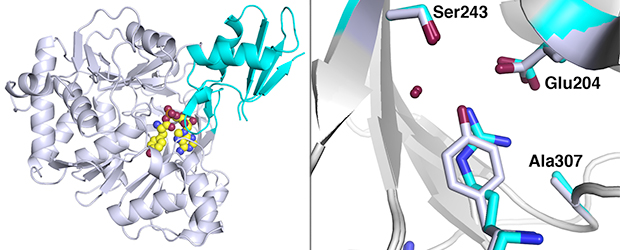 Left: Overall view of the binding domain of the non-ribosomal peptide synthetase, with Tyrosine in the binding pocket. Right: Overlay of Tyrosine (white) and Arginine (cyan) substrates, showing shape mimicry