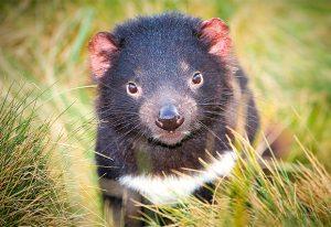 Healthy Tasmanian devil in its natural habitat.