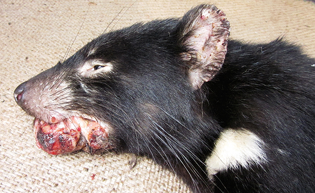 DFTD is a fatal condition in Tasmanian devils