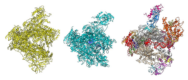Scientists can finally compare the structures of Pol I (left), Pol II (middle) and Pol III (right). IMAGE: EMBL/N. Hoffmann