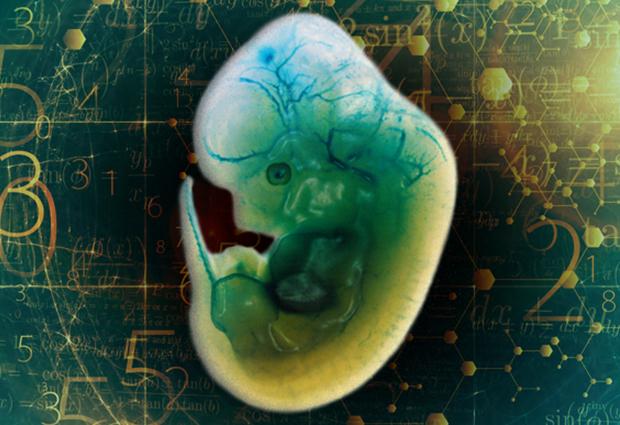 A mouse embryo