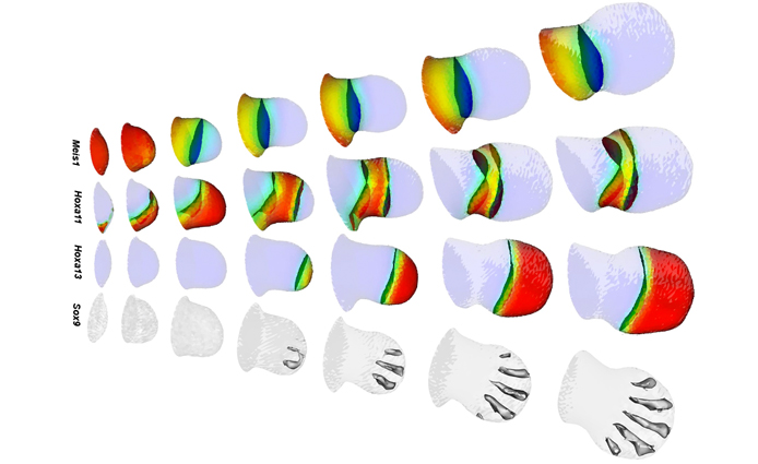 Computer simulation of how different genes shape the limb bud into upper arm, forearm, hand and fingers over a two day period during development. IMAGE: Xavier Diego & James Sharpe