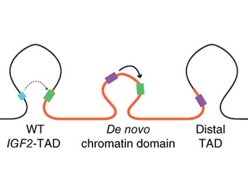 A duplicated section of DNA creates a new structure allowing the IGF2 gene (green) to be switched on by the super enhancer (purple). Taken from Weischenfeldt J et al (2016)