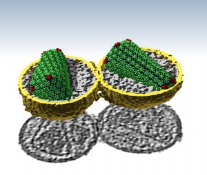 capsids in HIV viruses