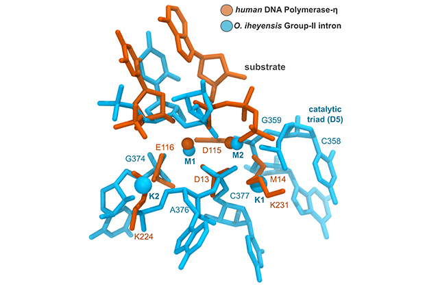 Superimposable structures of the active sites of human DNA polymerase and of a bacterial ribozyme