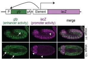 Enhancer activity (green) and promoter activity (purple) in the same regulatory element. IMAGE: EMBL / Eileen Furlong