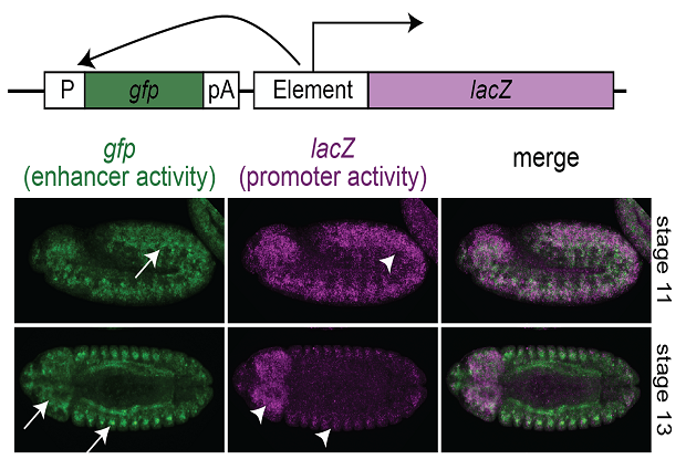 Enhancer activity (green) and promoter activity (purple) in the same regulatory element. IMAGE: EMBL / Eileen Furlong