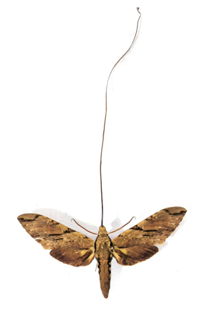 Examination of a Madagascan orchid persuaded Darwin that its nectar must be drunk by a moth with a proboscis 30 cm long. Such a moth, Xanthopan morganii, was found living in Madagascar in 1903. PHOTO: Esculapio/Wikimedia Commons