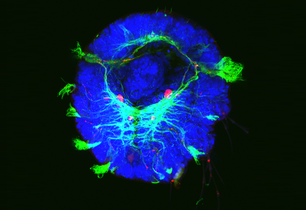 Retinoic acid signalling is crucial for the marine worm's nervous system (green) to develop