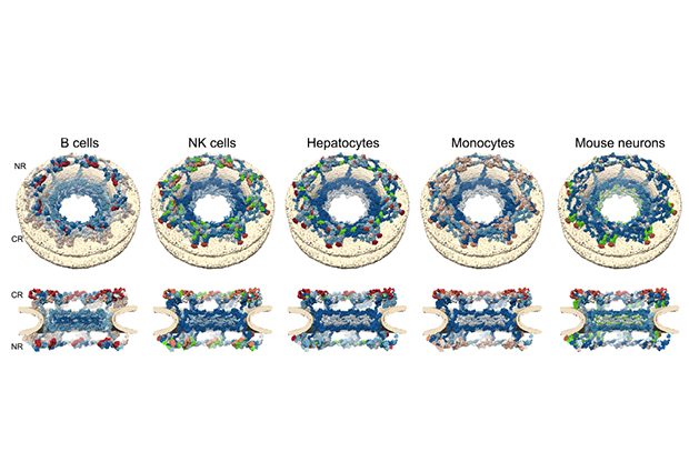 Architecture dependent turnover of the nuclear pore subunits. Top row shows the nuclear pore subunits seen from top, bottom row shows subunits of the nuclear pore cut in half.