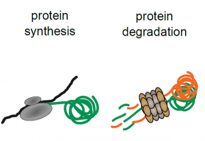 How drugs affect the life and death of proteins. IMAGE: Cell