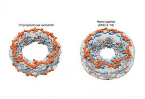 Architectural comparison of the Chlamydomonas reinhardtii NPC (left) and the human NPC (right). IMAGE: Shyamal Mosalaganti/EMBL