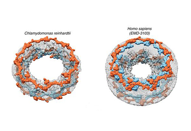 Architectural comparison of the Chlamydomonas reinhardtii NPC (left) and the human NPC (right). IMAGE: Shyamal Mosalaganti/EMBL