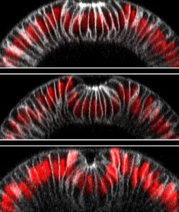 Example of optogenetics-guided tissue folding. The top image shows an embryo 10 minutes after illumination, and the bottom one 13 minutes afterwards: light-activated cells have folded inwards and thus moved downwards, creating a furrow. IMAGE: Stefano De Renzis, EMBL