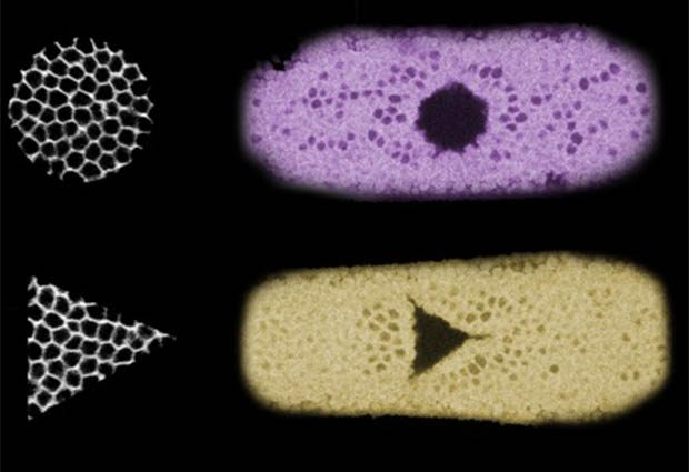 Three examples of the tissue shapes the team created. The black and white square, circle and triangle on the left correspond to the cells that were illuminated. On the right, three fruit fly embryos are shown in cyan, magenta and yellow, demonstrating how the illuminated cells folded inwards after the light-activation. IMAGE: Stefano De Renzis, EMBL