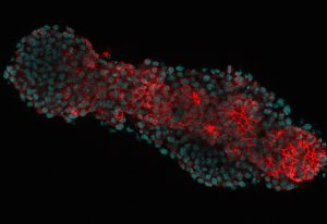 Optical section of a 'gastruloid' – an embryonic organoid made from mouse embryonic stem cells and stained for E-Cadherin (red), marking cell outlines and nuclei (blue). IMAGE: Vikas Trivedi/EMBL