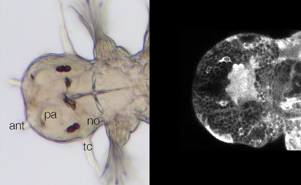 Images of a juvenile marine worm's head